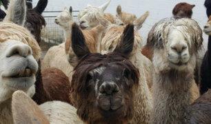 Puno: denuncian el robo de alpacas valorizadas en 15 mil soles