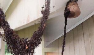 """Brasil: hormigas forman un """"puente colgante"""" con sus cuerpos para buscar alimento"""