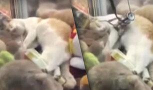 Gato se durmió en una máquina de peluches y su video se hace viral