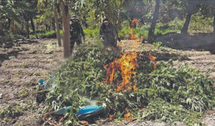 La Libertad: nueve hectáreas de plantones de marihuana fueron destruidos