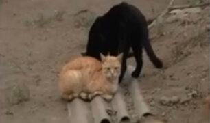 Chorrillos: gatos son abandonados en huaca 'La Lechuza'