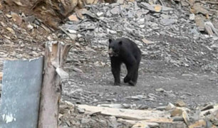 Presencia de oso andino viene atemorizando a pobladores de un distrito puneño