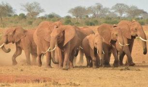Botsuana: cazadores furtivos mataron a casi un centenar de elefantes
