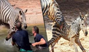 España: salvan a cebra recién nacida de morir ahogada en zoológico de Valencia