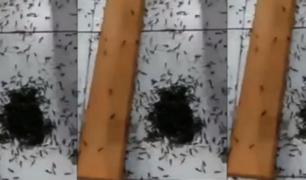Chimbote: plaga de hormigas invaden iglesia cristiana