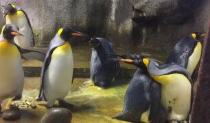 YouTube: ¿Por qué dos pingüinos 'secuestraron' al bebé de otra pareja? [VIDEO]