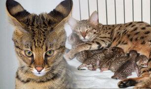 Conozca al gato híbrido más grande y caro del mundo
