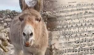 """Irlanda: una burra """"cantante de ópera"""" causa sensación en las redes sociales"""