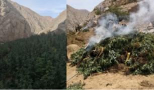 Ica: erradican más de 20 mil plantaciones de marihuana en Chincha