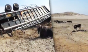 Casma: toros quedaron varados tras volcarse camión que los transportaba