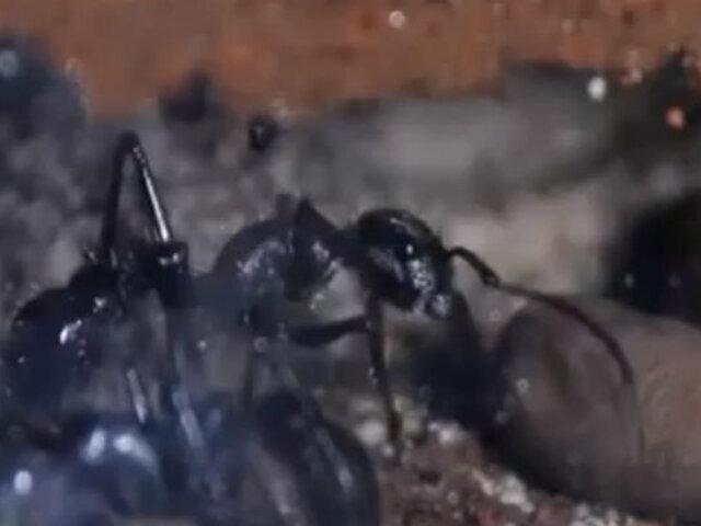 Mascotas exóticas: Hombre cría cientos de hormigas en su casa de Alemania