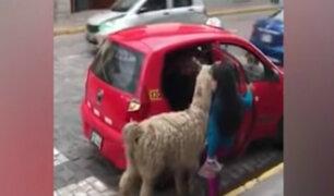 Cusco: llama aborda taxi y video se hace viral