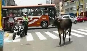Registran a un toro suelto en las calles de La Victoria