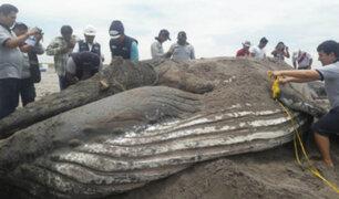 Tacna: ballena varada en playa sorprendió a la población