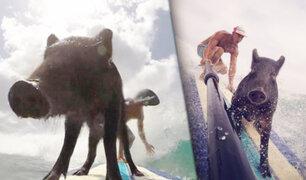 Conozca a Kama, el cerdo surfista que asombra en las playas de Hawaii