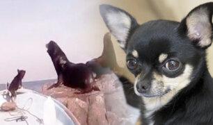 México: perro chihuahua se enfrenta a lobos marinos en pleno océano