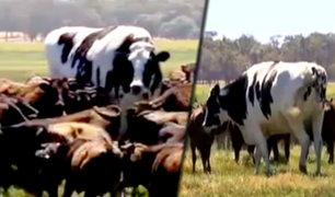 Australia: toro gigante se salva del matadero por su gran tamaño