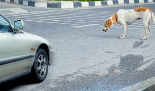 Plantean que SOAT también beneficie a mascotas atropelladas