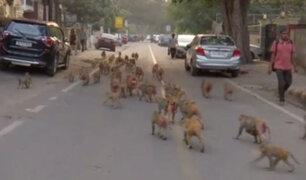 India: decenas de monos invaden la ciudad de Nueva Delhi
