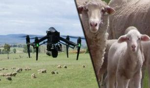 Australia: drones se encargarán de cuidar y controlar a corderos en época de cría