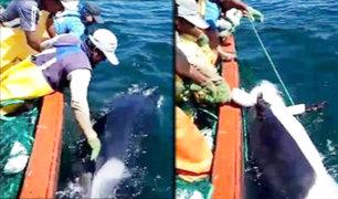 Chimbote: pescadores rescatan a una orca que quedó atrapada en las redes de su embarcación