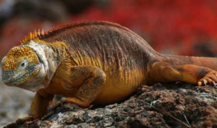 Ecuador: más de mil iguanas fueron trasladadas a una isla de Galápagos