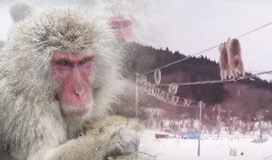 En época invernal: la habilidad de un grupo de monos en Japón se vuelve viral