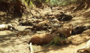 Australia: caballos mueren de sed en la ola de calor