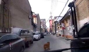 China: perro guió ambulancia para salvar a su dueño