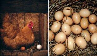 Escocia: gallinas ponen huevos con medicamentos para combatir cáncer