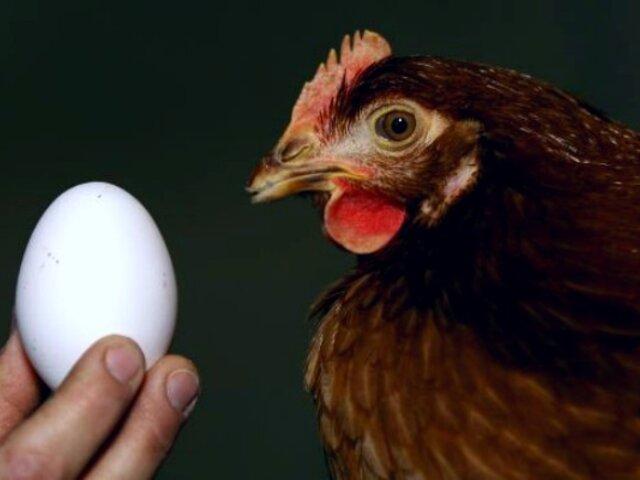 Científicos peruanos logran que gallinas desarrollen huevos con anticuerpos contra el COVID-19
