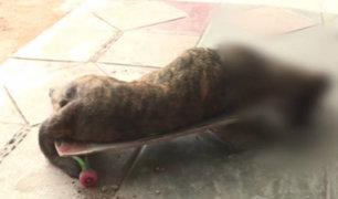 Callao: perro muere al intentar defender a su dueño en balacera
