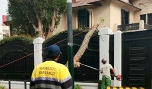 Barranco: harán informe sobre estado de árboles tras caída en Av. Sáenz Peña