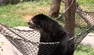 Zoológico de Huachipa se pronuncia ante denuncia de presunto maltrato animal contra osos