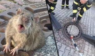 Alemania: bomberos rescatan a una enorme rata que estaba atorada en alcantarilla