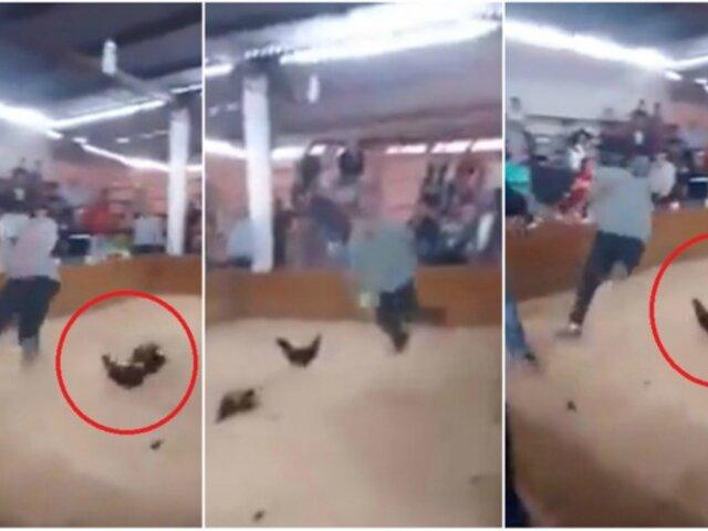 Gallo se rebela y ataca a su dueño antes de pelea