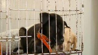 ¡Alarmante! Continúa la venta de animales en el centro histórico de Lima