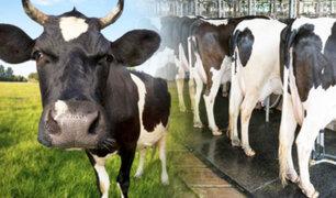 Bélgica: evalúan cobrar impuestos a ganaderos por las flatulencias de sus vacas