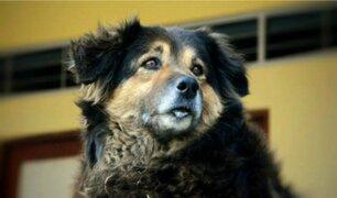 Falleció 'Perrovaca', la mascota símbolo de la UNMSM