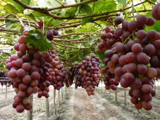 Perú se ubica como tercer exportador mundial de uva fresca