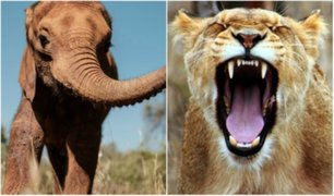 ¿Karma? Cazador furtivo fue asesinado por elefante y devorado por leones