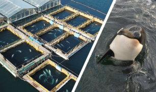Rusia: liberarán a ballenas y orcas del cautiverio