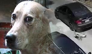 SJL: perro sobrevive tras ser atropellado por auto