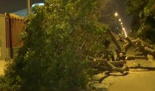 San Luis: árbol de gran tamaño cae y bloquea pista