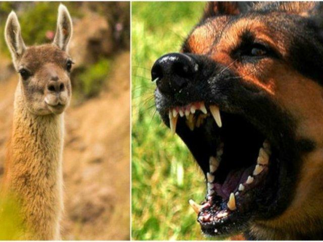 Encuentran a guanaco que fue atacado por perros callejeros