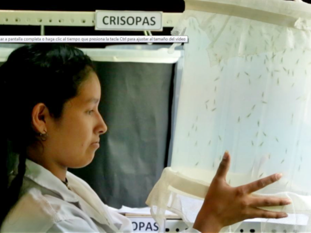 Miraflores: crían insectos benéficos para el control ecológico de plagas