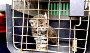 Rescatan a cría de gato salvaje que era tratado como mascota