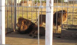 Leones son criados en granjas para que cazadores puedan asesinarlos