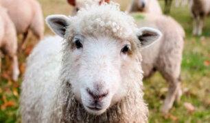 Inscriben a 15 ovejas en un colegio rural para evitar cierre de clases