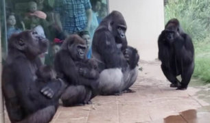 EEUU: gorilas de un zoológico sorprenden al idear un plan para no mojarse por la lluvia